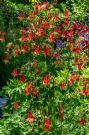 Aquilegia Canadensis 'Little Lanterns' 15 Seeds - drooping, Bell-Like Flowers